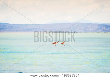 Two Pink Flamingo In The Lagoon, Altiplano, Bolivia