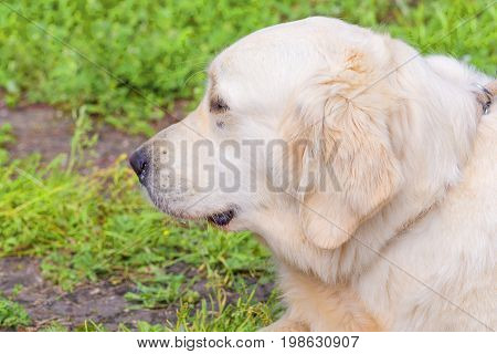 Golden retriever - a hunting breed of dogs. Head with open jaws against the background of green blurred grass. Concept: parodist dogs, dog friend of man, true friends, rescuers. Space under the text. 2018 year of the dog in the eastern calendar