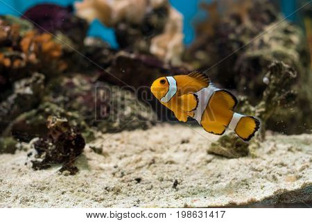 The Ocellaris Clownfish Amphiprion ocellaris is the most recognized little orange saltwater fish in the world. Selective focus