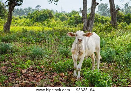 White calve grazing on a green meadow in sunny day. Farm animals.