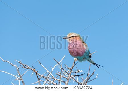 A lilac-breasted roller Coracias caudatus on a thorn tree in Northern Namibia