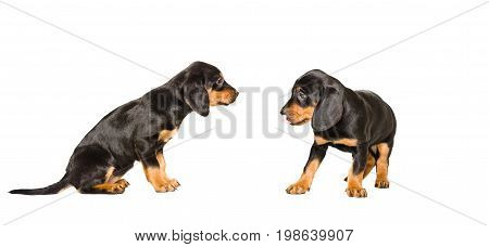 Two cute puppy breed Slovakian Hund together, isolated on white background