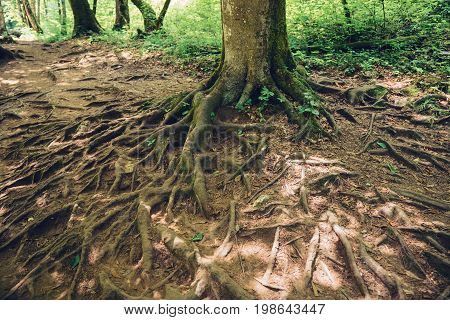 The roots of a larger tree on the ground. The concept of ecology and conservation of nature.