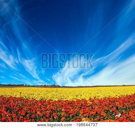 Light cirrus clouds over the floral splendor. The concept of rural tourism. Picturesque huge field of blooming buttercups
