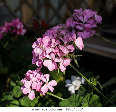 Pink Geranium bush, Beautiful sunny effect for you ideas