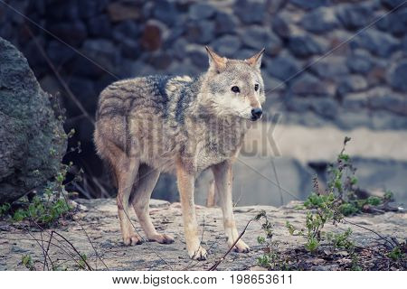 Big grey wolf canis lupus in the zoo