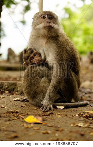 Brown Macaque Mother Monkey Sitting On The Ground Breastfeeding Furry Baby Monkey Who Is Looking At