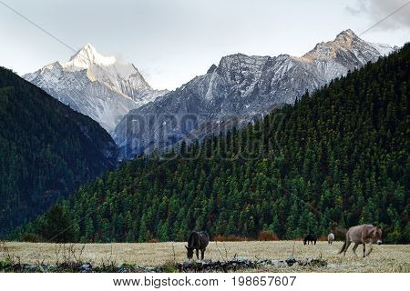 Shangri La, View Of Holy Snow-clad Mountain Chanadorje And Green Pine Trees With Foals In Valley Eat