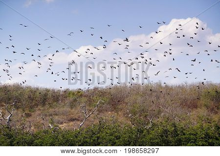 Swarm Of Giant Black Bats In The Sky Flying Somewhere Else To Get Food During The Day In Flores, Ind