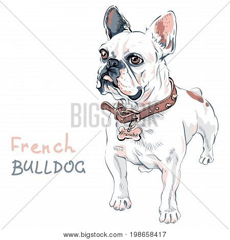Domestic dog white French Bulldog breed standing, on the white background. Collar and tag with the inscription Frenchie