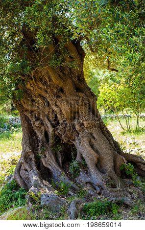 Ancient monumental olive tree trunk apulia. Italy