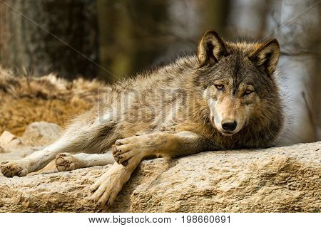 Wild animals and nature create beautiful animals and predators. All kinds of wolves and wolves. Evil and kind.