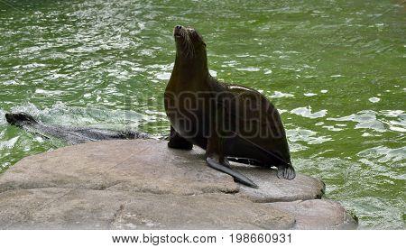 Sea lion sitting on rock, close up