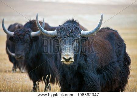 Wild adult male Yak is in the desert. Tien Shan Kyrgyzstan