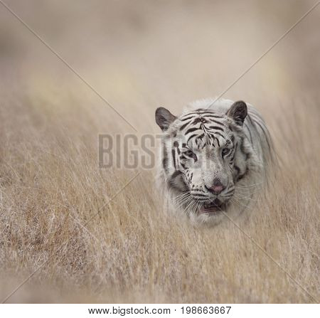 White Tiger walking in the grassland