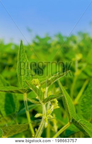 Soybean Field On A Bright Sunny Day. The Leaves Of Soybean And Young Soybean, Soybean Sprouts, Flowe