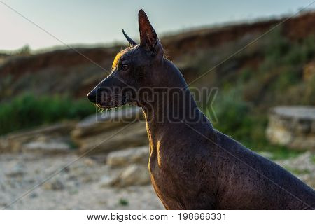 Close up portrait One Mexican hairless dog (xoloitzcuintle Xolo) sits on a sandy beach on a sunset background.