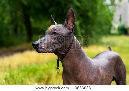 Close up portrait Mexican hairless dog (xoloitzcuintle Xolo) on a background of green grass in the park