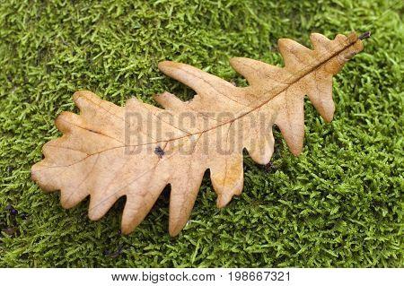 Leaf at the moss background, falling leaf