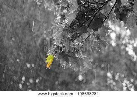 maple branch in the spring in the rain. Photo in black and white with a particular color