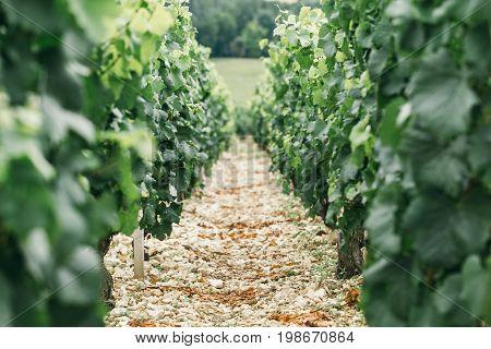 Vineyard screensaver on the desktop wine background. Summer vineyard young wine
