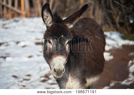 Donkey looking at the camera. Beast of burden in the mountain village of Tajikistan