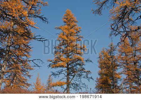 Siberian larch in the Northern taiga in autumn. Evenkiya Krasnoyarsk region Russia