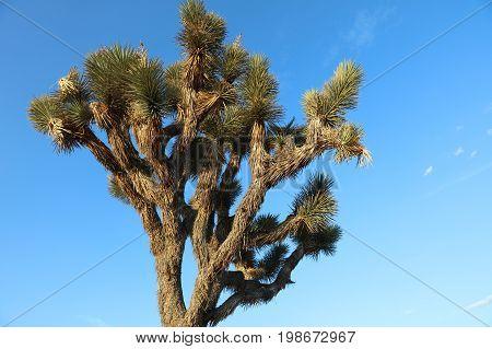 Joshua Tree in Joshua Tree National Park. California. USA