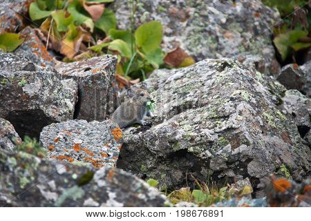 Young pika feeds on grass among the rocks in Tien-Shan. A rodent from the family of lagomorphs red pika in places of their habitat in the mountains of Kyrgyzstan. height rare species red book