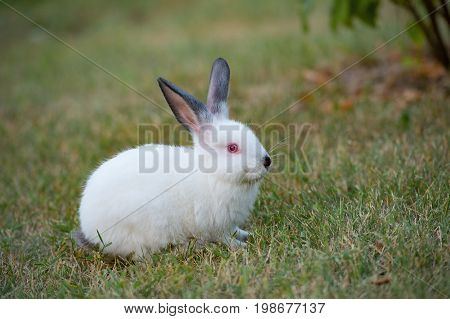 Little white rabbit with black ears and red eyes on green grass in summer day