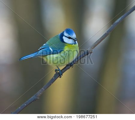Tit-blue; tit; branch; spring; forest; Little; bird; sitting; sideways; breeding; plumage;