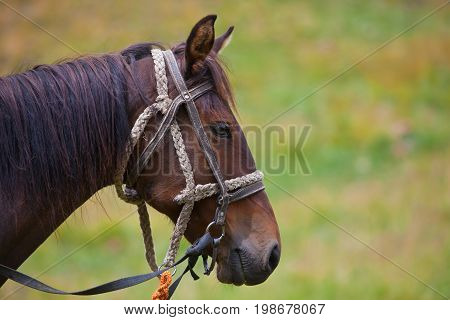 The head of the Kyrgyz Bay horse in a harness in a pasture in the Tien Shan mountains Kyrgyzstan