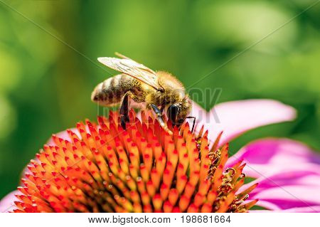 The Bee pollinating purple flower. Close up