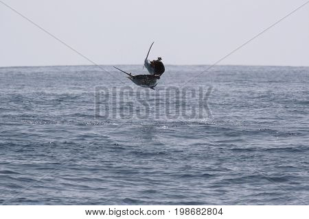 Jump sailfish while deep sea sport ocean fishing. Pacific ocean Costa Rica