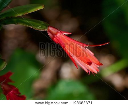 bright red Cactus Flower in a Closeup