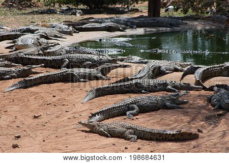 Nile crocodiles on the shore. African crocodiles have water in the floodplain of the Zambezi river in Zimbabwe