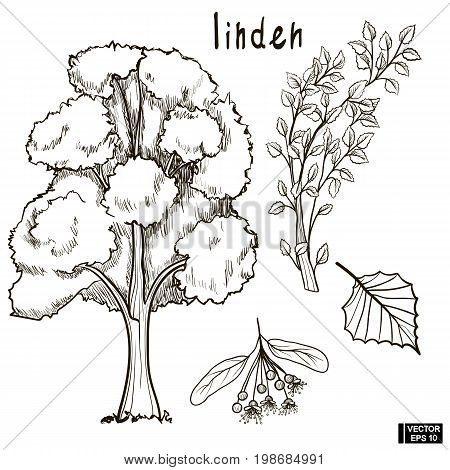 Sketch Of A Tree Linden