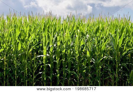 Growing Corn Background with cloudy blue sky