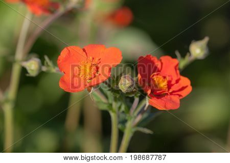 Bright red avens flowers closeup in the foreground poster