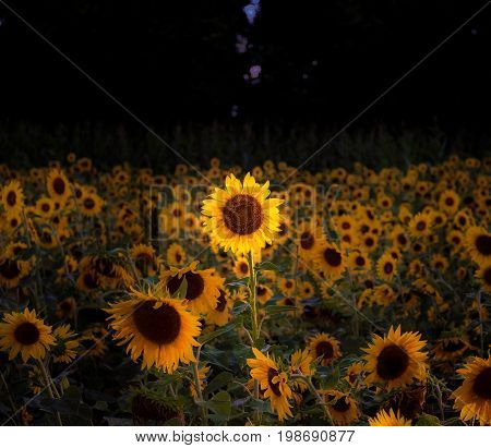 Lonely sunflower stood out amongst the rest.