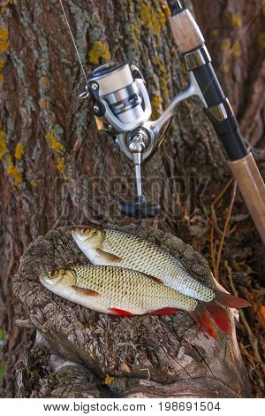 View Of Two Freshwater Common Rudd Fish And Fishing Rod With Reel On Natural Vintage Wooden Backgrou