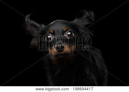 Portrait of Amazement Russian Toy Terrier Dog on Black Background