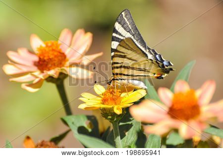 Iphiclides podalirius, Scarce swallowtail butterfly on flowers. Butterfly collecting nectar on flowers in the garden.