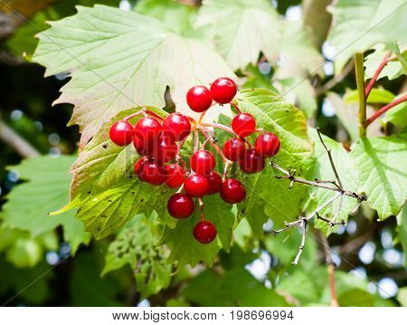 Beautiful Red Berries Guelder Rose (iburnum Opulus)