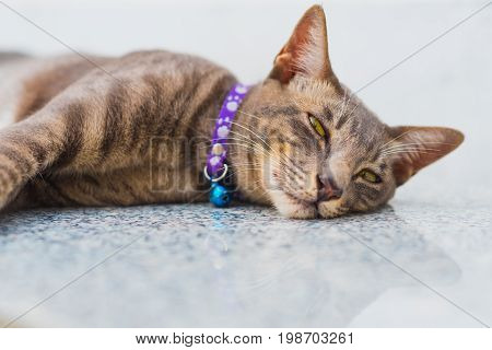 Happy relaxed cat portrait - tabby pattern, purple collar, white background. The cat lives at a peaceful Buddhist temple (Wat Pathum Wanaram) in the middle of busy business center of Bangkok, Thailand