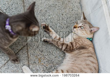 Conflict between two cats. Cat in a protection pose lying on the ground. Aggression and violence among cats