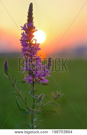Larkspur (Delphinium nuttallianum) wild flower