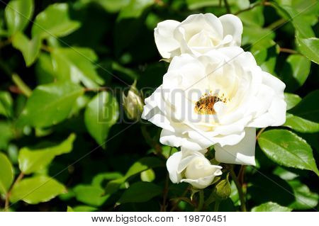 Bee on a White Rose