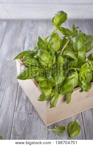 Fresh basil in wooden box on rustic background