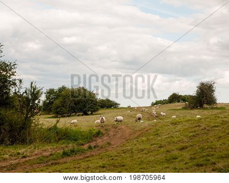 Sheep In A Uk Meadow Grassland Hill Outside Farming